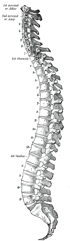 https://upload.wikimedia.org/wikipedia/commons/8/83/Gray_111_-_Vertebral_column.png