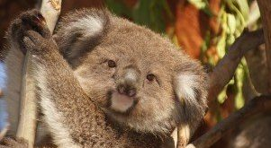 C:\Users\user\Downloads\koala-australia-koala-bear-lazy-rest-animal-2.jpg