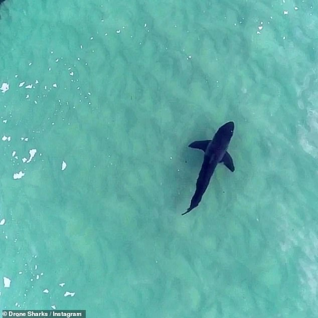 An image was snapped by Drone Shark, an app which provides drone footage for surfers and swimmers of any shark sightings.