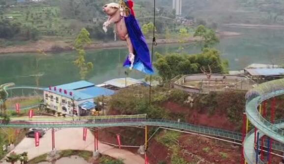 重慶一個景區讓豬蹦極引發爭議(圖片來源:視頻截圖)
