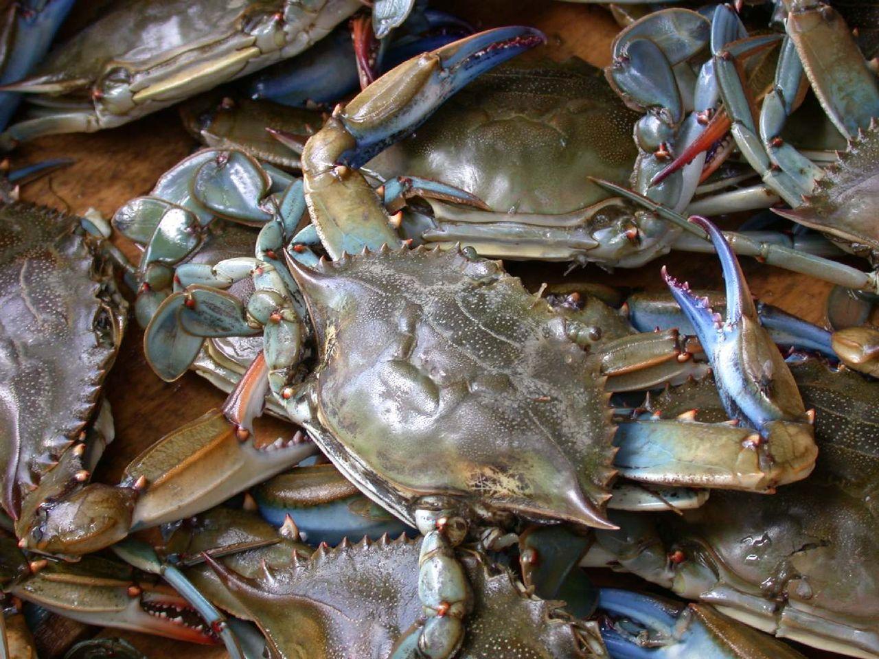 蓝蟹,Blue crab