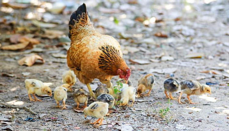 母鸡示意图(图片来源:Piqsels)
