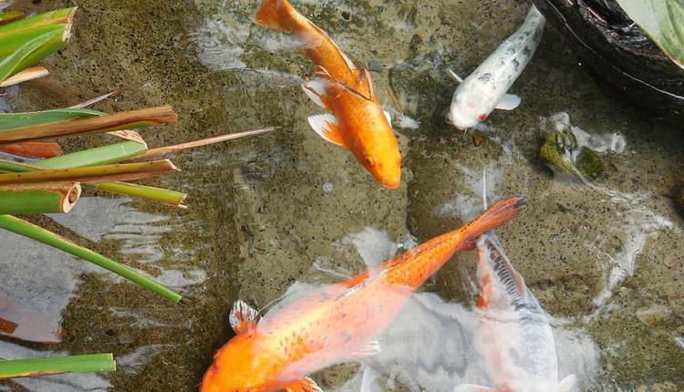 金鱼塘示意图 图片来源:Piqsels