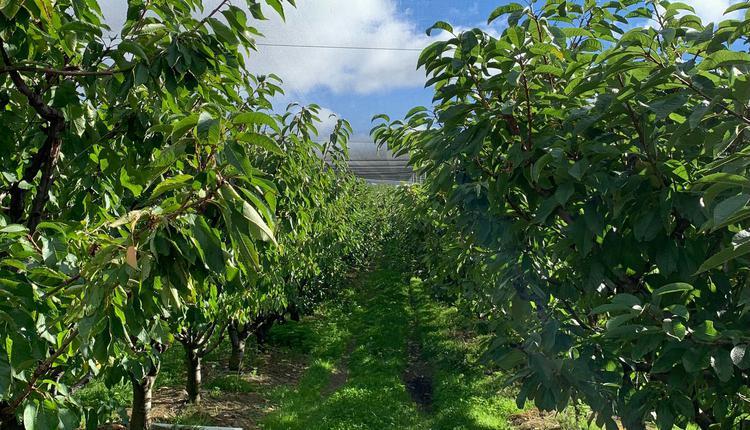 農場 塔州車厘子 果園 櫻桃
