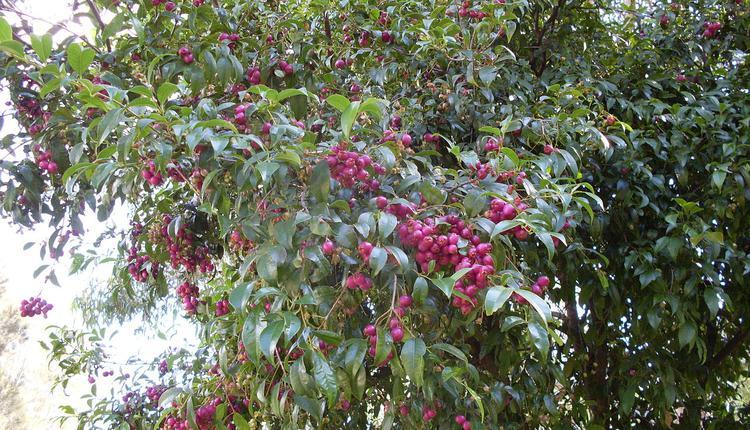 灌木丛樱桃